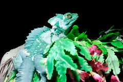 Plumed Basilisk Royalty Free Stock Photos