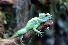 Plumed Basilisk Royalty Free Stock Photography