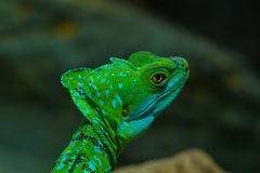 Plumed Basilisk Stockbilder