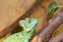 Plumed basilisk Stock Photos