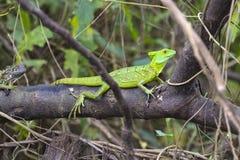 Jesus Christ lizard - Basiliscus plumifrons - Costa Rica. Plumed basilisk Basiliscus plumifrons, also called a green basilisk, double crested basilisk, or Jesus Stock Photography
