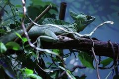 Plumed basilisk (Basiliscus plumifrons) Stock Images