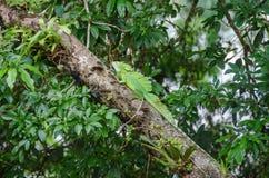 Plumed basilisk or Jesus Christ lizard in Tortuguero National Pa. Plumed basilisk Basiliscus plumifrons, also known as green basilisk, double crested basilisk Royalty Free Stock Image
