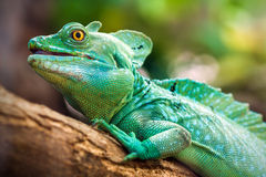Plumed basilisk (Basiliscus plumifrons) Royalty Free Stock Photography