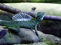 The plumed basilisk Basiliscus plumifrons, green basilisk, double crested basilisk, Jesus Christ lizard or Stirnlappenbasilisk royalty free stock images