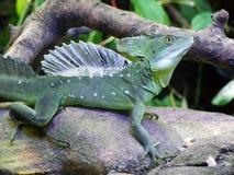 The plumed basilisk Basiliscus plumifrons, green basilisk, double crested basilisk, Jesus Christ lizard or Stirnlappenbasilisk royalty free stock images