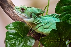 Plumed basilisk Stock Images