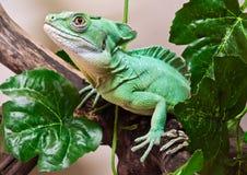 Plumed basilisk. Beautiful close up photo of lizard Plumed basilisk Royalty Free Stock Images