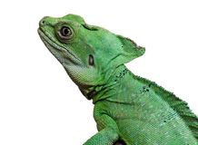 Plumed basilisk Royalty Free Stock Photo