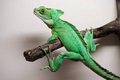 Plumed basilisk. Beautiful close up photo of lizard Plumed basilisk Royalty Free Stock Image