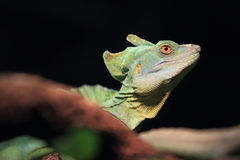 Plumed basilisk Stock Image