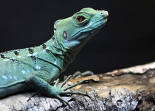 Plumed Basilisk Female. The Plumed Basilisk, also called a Green Basilisk or double crested basilisk, is a species of lizard native to Latin America. Its natural Stock Photo