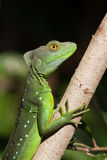 Plumed basilisk or Jesus Christ lizard Royalty Free Stock Photos