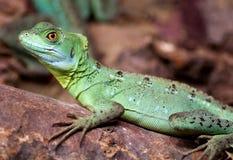 Plumed basilisk lizard Royalty Free Stock Photo