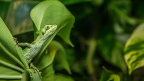 Plumed Basilisk Lizard Stock Image