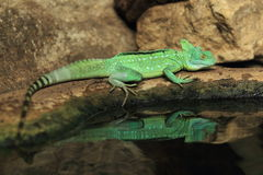Plumed basilisk. Reflecting in water Royalty Free Stock Photography