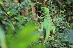 Plumed basilisk Stock Photography