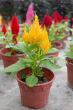 Plumed celosia, Wool flower, Red fox Royalty Free Stock Image