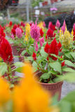 Plumed celosia, Wool flower, Red fox Stock Photography
