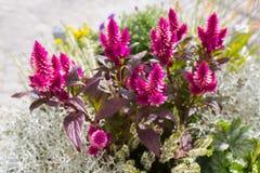 Plumed cockscomb ποώδεις εγκαταστάσεις GR χτενών κοκκόρων ` s λουλουδιών ασημένιες Στοκ Εικόνες