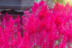 Plumed cockscomb blossom or Celosia argentea in beautiful garden Royalty Free Stock Photos