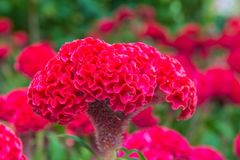 Plumed cockscomb blossom or Celosia argentea in beautiful garden Royalty Free Stock Images