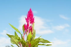 Plumed cockscomb flower. With blue sky Stock Photos