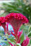 Plumed cockscomb flower, closeup Royalty Free Stock Photos