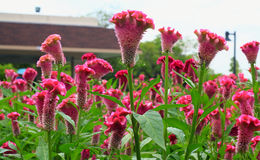 Plumed cockscomb flower, closeup Stock Images
