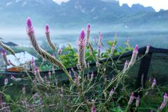 Plumed cockscomb with mountain, fog in the cold air, in the morning at Doi Chiang Dao - Thailand stock photography