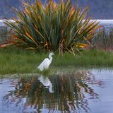 Plumed Egret. Single Plumed Egret Foraging Along Shoreline of Kaniere Lake In Front Of Large Flax Plant And Reflection, West Coast, South Island, New Zealand Royalty Free Stock Photo
