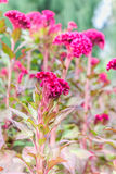 Plumed pink cockscomb flower Royalty Free Stock Image