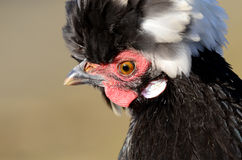 Plumed Poultry Royalty Free Stock Photography