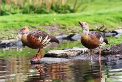 Plumed Whistling Duc. K - Grass Whistle Duck - Dendrocygna eytoni Royalty Free Stock Image
