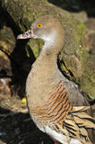 Plumed Whistling-duck Royalty Free Stock Image