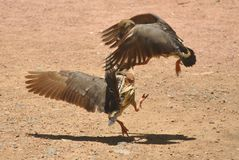 Plumed Whistling Duck Royalty Free Stock Photos