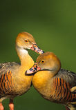 Plumed Whistling Ducks Stock Photography