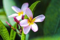 Plumeira rosado Fotos de archivo