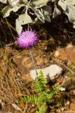 Plumeless κάρδος λουλουδιών εγκαταστάσεων Carduus Στοκ Εικόνες