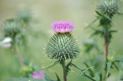 Plumeless thistle Royalty Free Stock Images