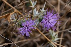 Purple Plumeless Thistles. Plumeless Thistles, Golan Heights, Israel royalty free stock photography