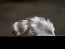 Plumelet of bird Royalty Free Stock Photo