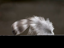 Plumelet van vogel Royalty-vrije Stock Foto