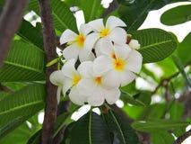 Plumelia. White Plumelia flower royalty free stock photos