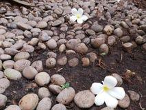 Plumeria†‹tropical†‹â€ ‹flower†‹on†‹the†‹rock†‹garden†‹decoration†‹ στοκ εικόνα