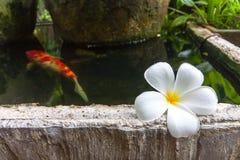Plumeria à l'étang avec la grande carpe de fanct Photographie stock