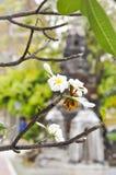Plumeria, árbol de pagoda en el templo fotos de archivo libres de regalías