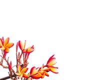 Plumeria άνθισης που απομονώνεται στο λευκό Στοκ Εικόνες