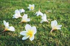 Plumeria, άνθιση λουλουδιών δέντρων ναών Στοκ Εικόνα