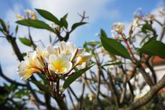 Plumeria, άνθιση λουλουδιών δέντρων ναών Στοκ Εικόνες